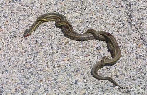 Kỳ lạ: Đôi rắn độc xoắn quẩy giữa đường 5