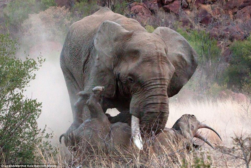 Tê giác mẹ bị voi dữ tấn công điên cuồng khi bảo vệ con 5