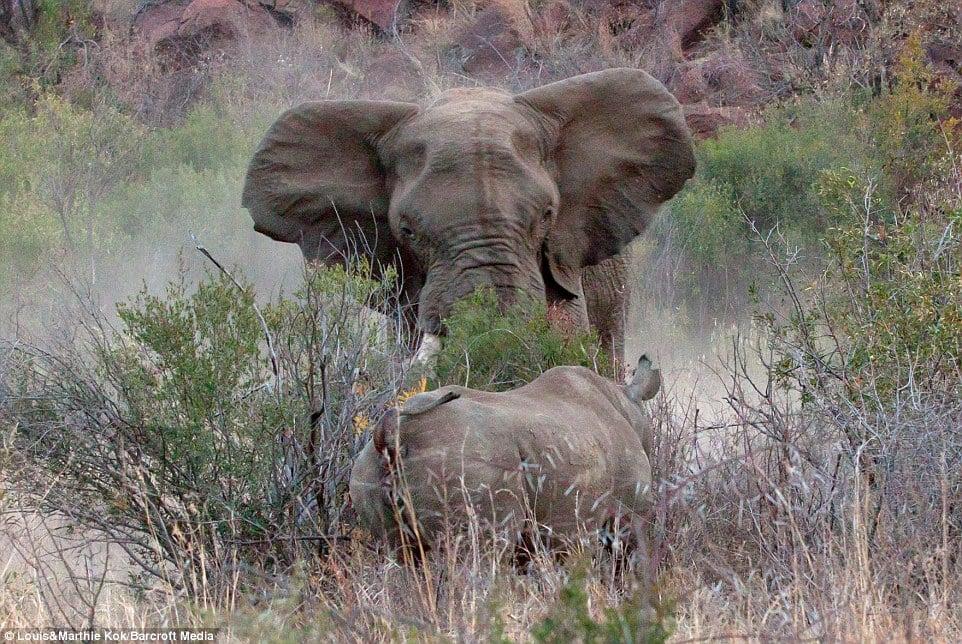 Tê giác mẹ bị voi dữ tấn công điên cuồng khi bảo vệ con 10