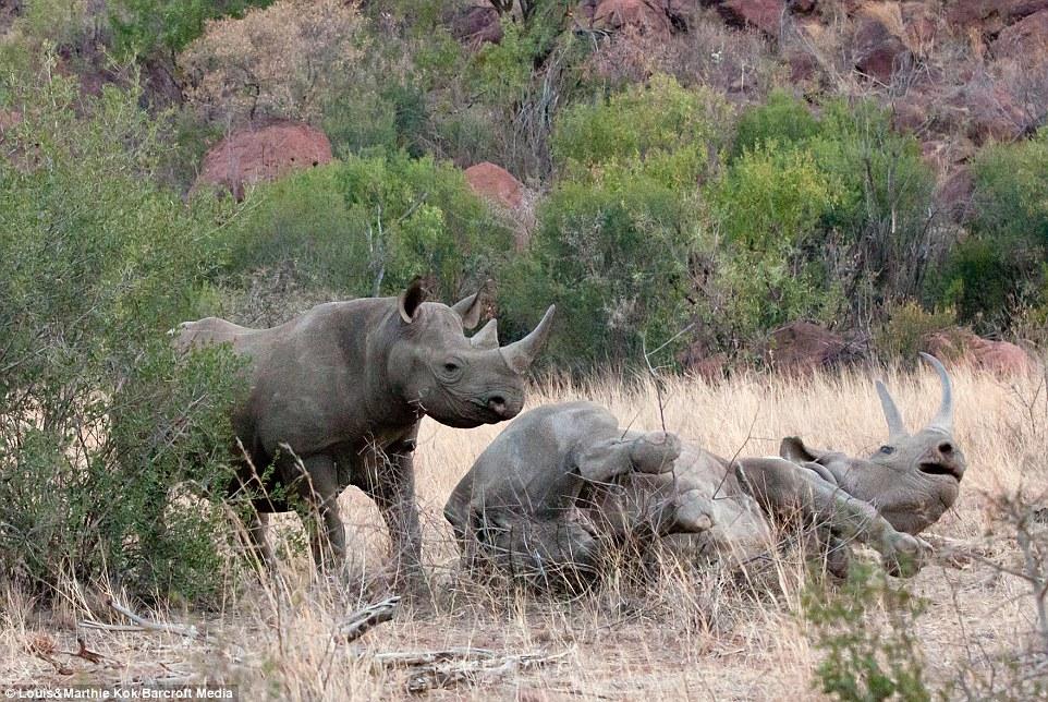Tê giác mẹ bị voi dữ tấn công điên cuồng khi bảo vệ con 13