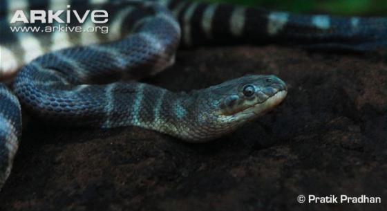 Tận mục loài rắn có mỏ độc nhất hành tinh giết người bằng một nhát cắn 6