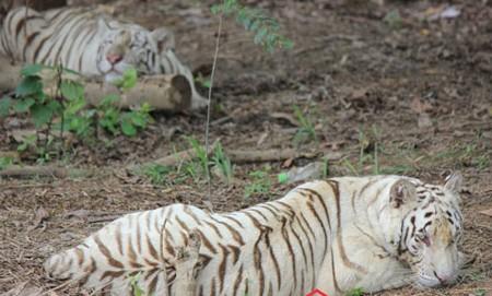 Đại gia Việt và sở thích nuôi thú dữ làm cảnh 1