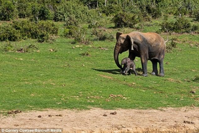 Liều mạng đối đầu voi mẹ để cứu voi con 14
