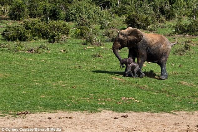 Liều mạng đối đầu voi mẹ để cứu voi con 13