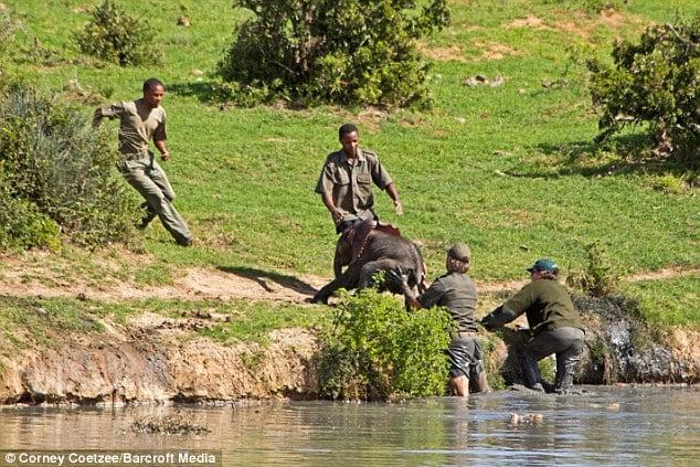 Liều mạng đối đầu voi mẹ để cứu voi con 5