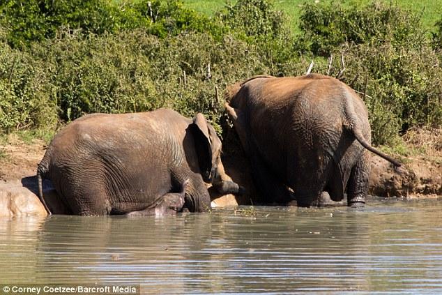 Liều mạng đối đầu voi mẹ để cứu voi con 7