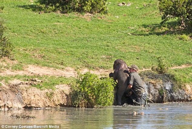 Liều mạng đối đầu voi mẹ để cứu voi con 8