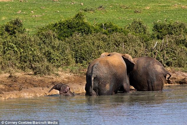 Liều mạng đối đầu voi mẹ để cứu voi con 6