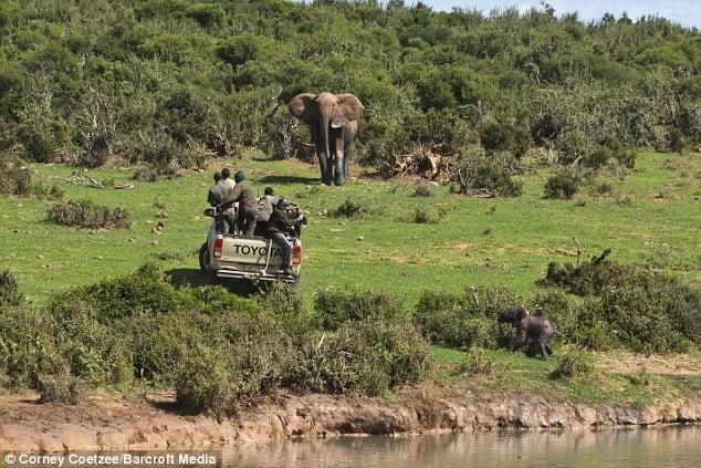 Liều mạng đối đầu voi mẹ để cứu voi con 10