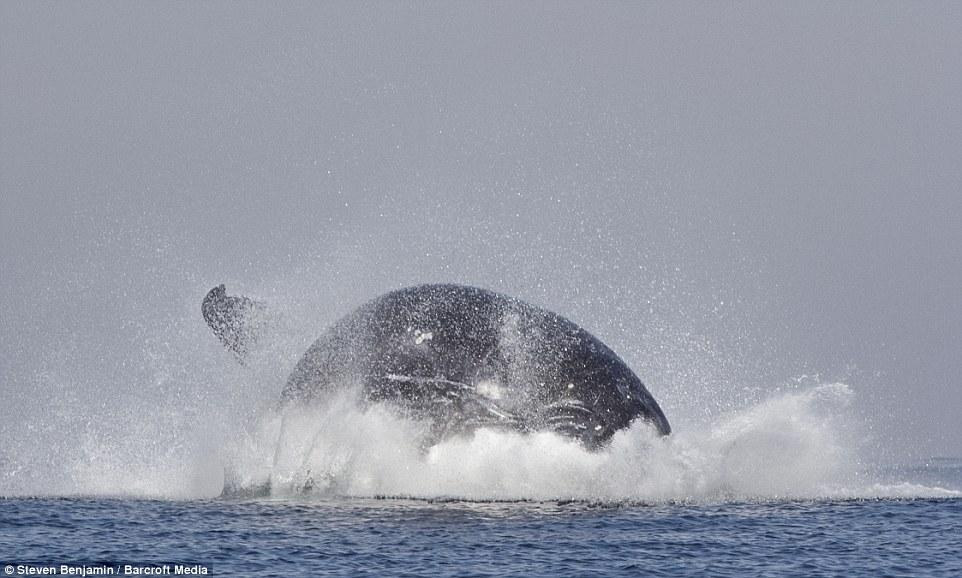 Cá voi lưng gù khổng lồ 40 tấn tung mình trên không trung 6