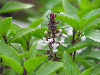Những loại cây trồng xua muỗi cực hiệu quả 6