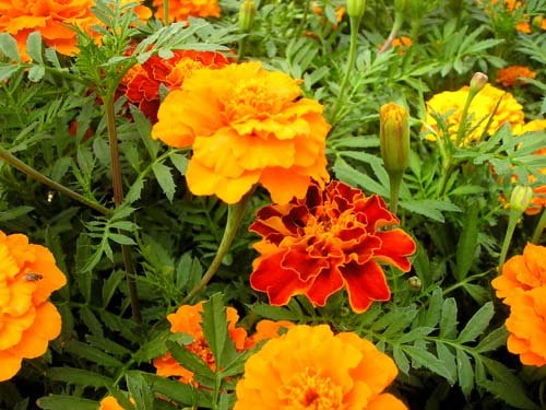 Những loại cây trồng xua muỗi cực hiệu quả 8