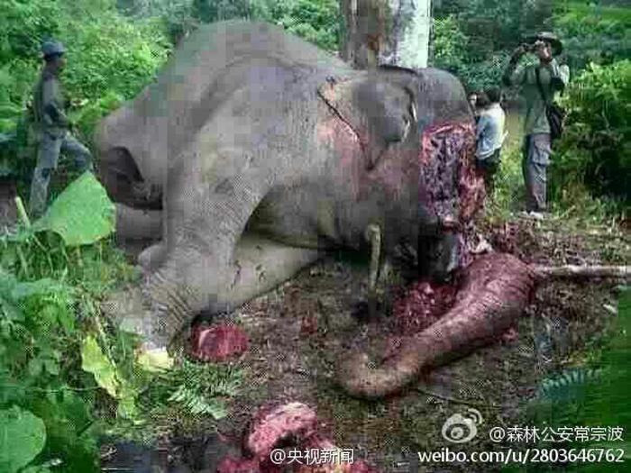 Phẫn nộ hình ảnh voi bị chặt đầu, cướp ngà ở Trung Quốc 3