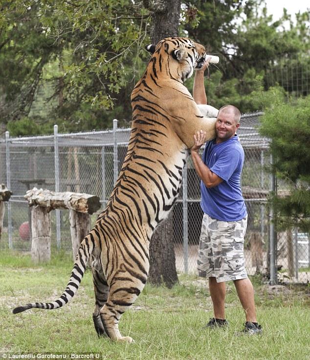 Người đàn ông sống chung với hổ dữ suốt 9 năm 7