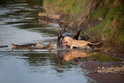 Cuộc chiến sinh tử giữa cá sấu và bầy sư tử tranh xác 5