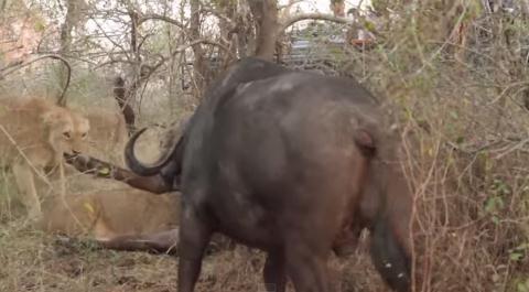 Đàn trâu rừng hợp sức đánh bại sư tử giải cứu đồng loại  6