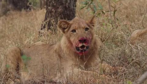 Đàn trâu rừng hợp sức đánh bại sư tử giải cứu đồng loại  9