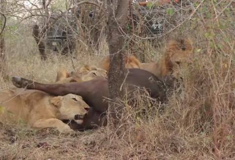 Đàn trâu rừng hợp sức đánh bại sư tử giải cứu đồng loại  4