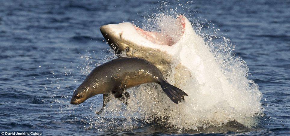 Cá mập tung hứng hải cẩu trước khi xơi tái con mồi 7
