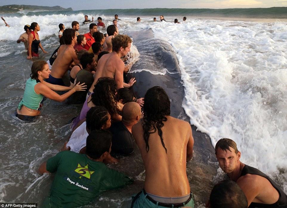 Hơn 50 người kiệt sức giải cứu cá voi khổng lồ mắc cạn bên bờ biển 8