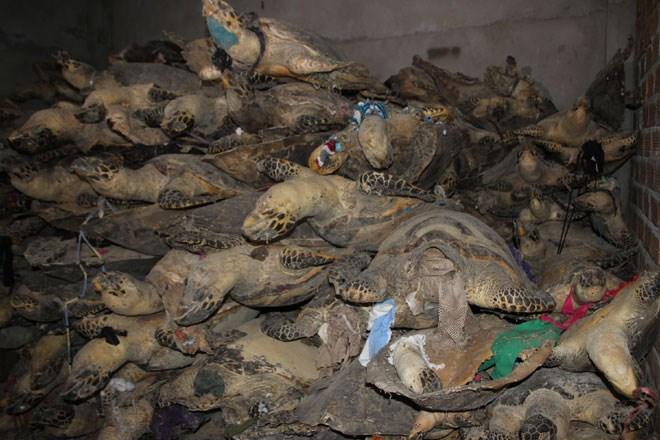Phát hiện hàng nghìn cá thể rùa biển quý hiểm bị sấy khô 5