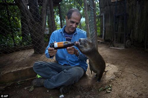 Chuột khổng lồ thích được ôm hôn và uống rượu với chủ 7