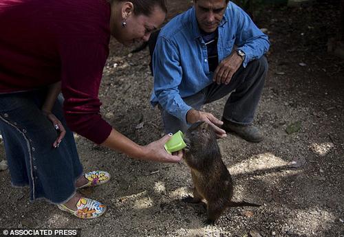 Chuột khổng lồ thích được ôm hôn và uống rượu với chủ 11