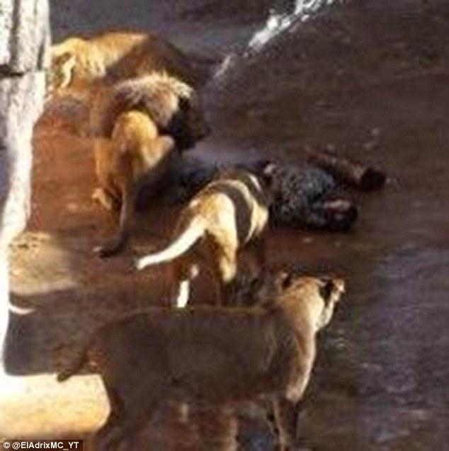 Nhảy vào chuồng sư tử, người đàn ông bị đánh tơi tả 7