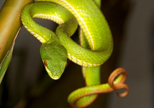 Bộ Y tế hướng dẫn cách xua đuổi rắn lục đuôi đỏ hiệu quả và cách điều trị 6