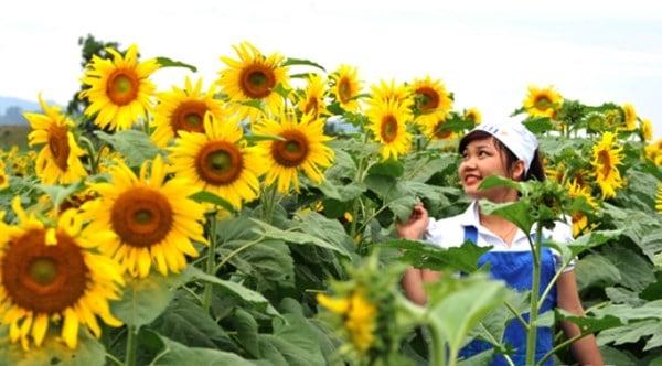 Nữ chủ nhân nghìn tỉ của cánh đồng hoa hướng dương Nghệ An 8