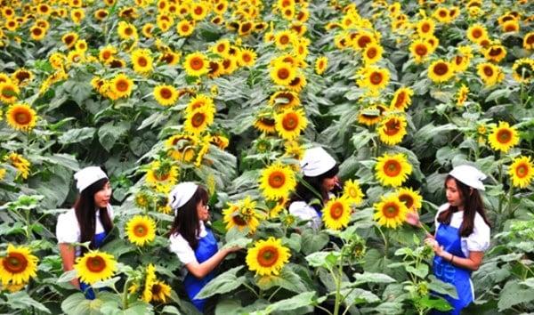 Nữ chủ nhân nghìn tỉ của cánh đồng hoa hướng dương Nghệ An 7