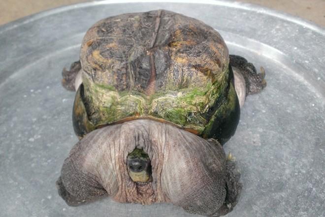 Rùa nuôi bỗng dưng mọc gai ở đuôi như khủng long 6
