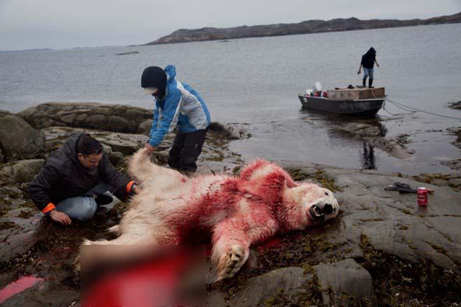 Cận cảnh cuộc đi săn gấu trắng Bắc cực đẫm máu 5