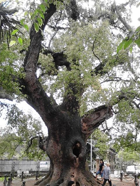 Chiễm ngưỡng cây Dã Hương nghìn năm tuổi ở Bắc Giang 17