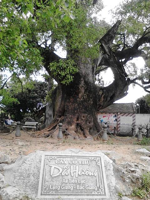 Chiễm ngưỡng cây Dã Hương nghìn năm tuổi ở Bắc Giang 6