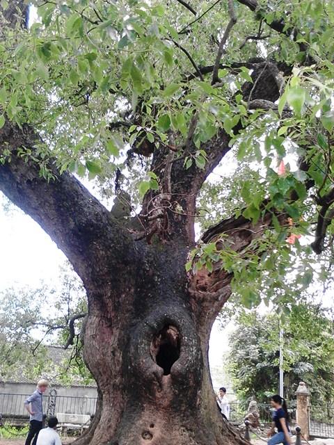 Chiễm ngưỡng cây Dã Hương nghìn năm tuổi ở Bắc Giang 15