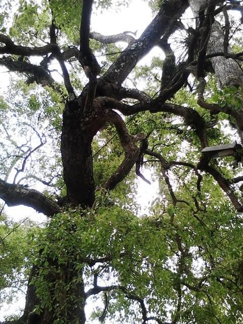 Chiễm ngưỡng cây Dã Hương nghìn năm tuổi ở Bắc Giang 8