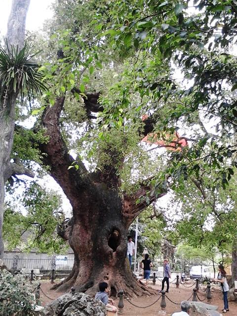 Chiễm ngưỡng cây Dã Hương nghìn năm tuổi ở Bắc Giang 14