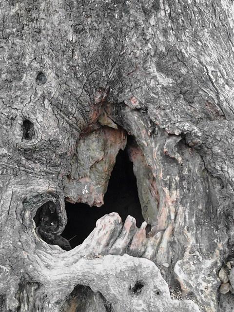 Chiễm ngưỡng cây Dã Hương nghìn năm tuổi ở Bắc Giang 10