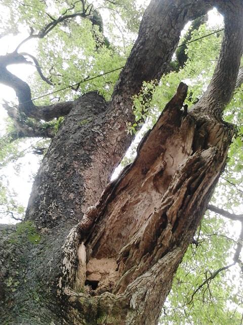Chiễm ngưỡng cây Dã Hương nghìn năm tuổi ở Bắc Giang 11