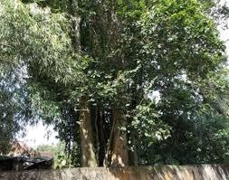 Hình ảnh Những loài cây cực độc có khả năng giết người ở Việt Nam số 3