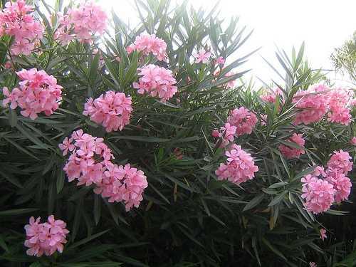 Những loài cây cực độc có khả năng giết người ở Việt Nam 4