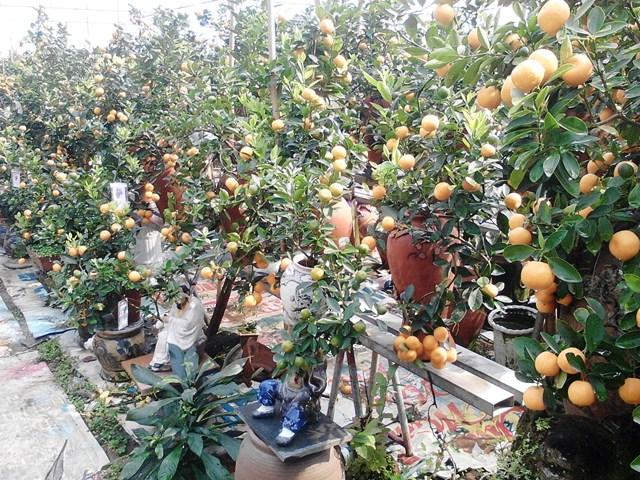 Vườn quất trồng chum giá bạc tỷ của nông dân Hà Thành 8