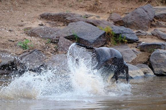 Cá sấu khủng hạ gục cả đàn linh dương di cư qua sông 5