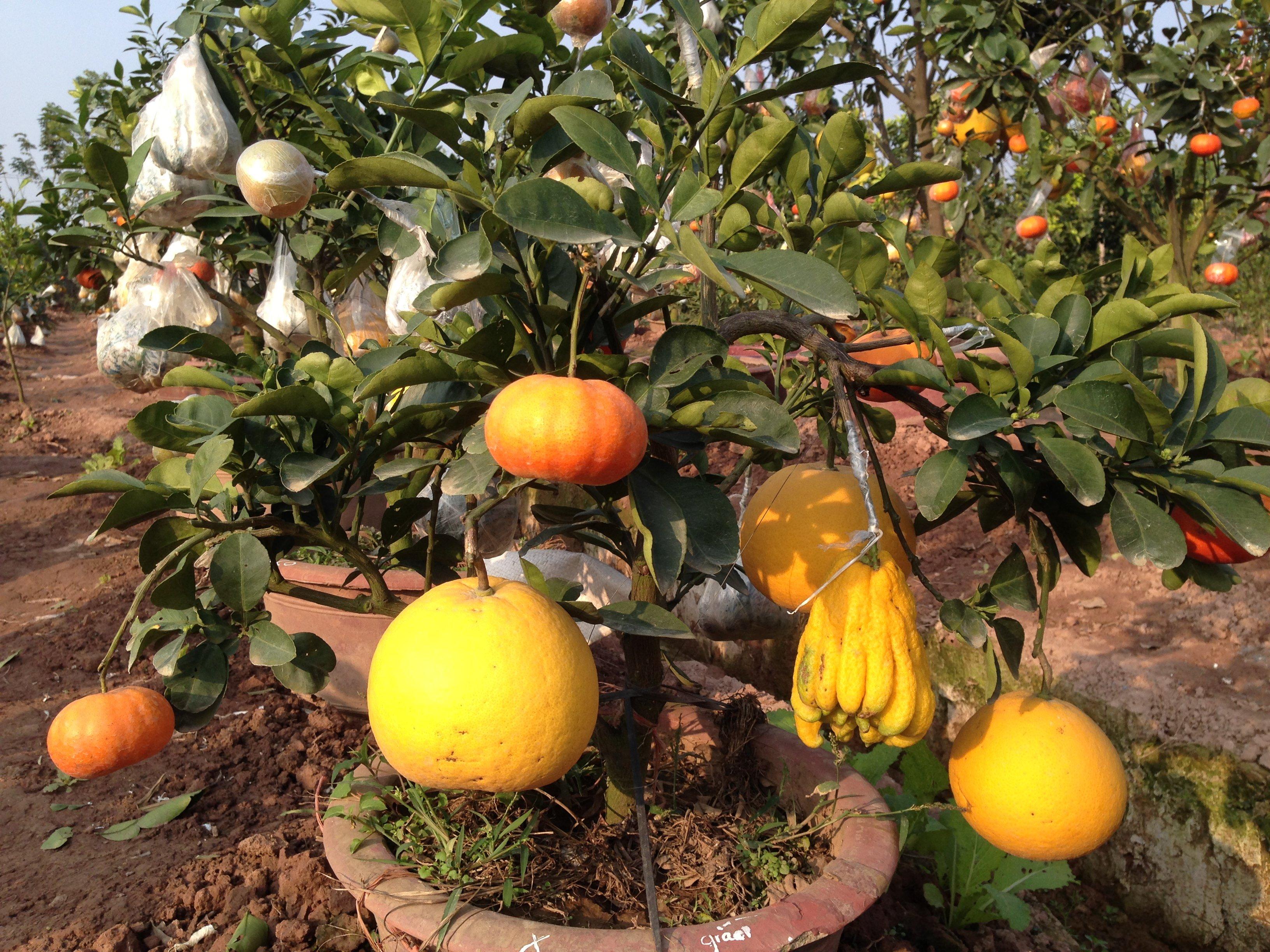 Chiêm ngưỡng vườn cây Ngũ – Thất - Cửu quả bạc tỷ của lão nông Hà thành 12