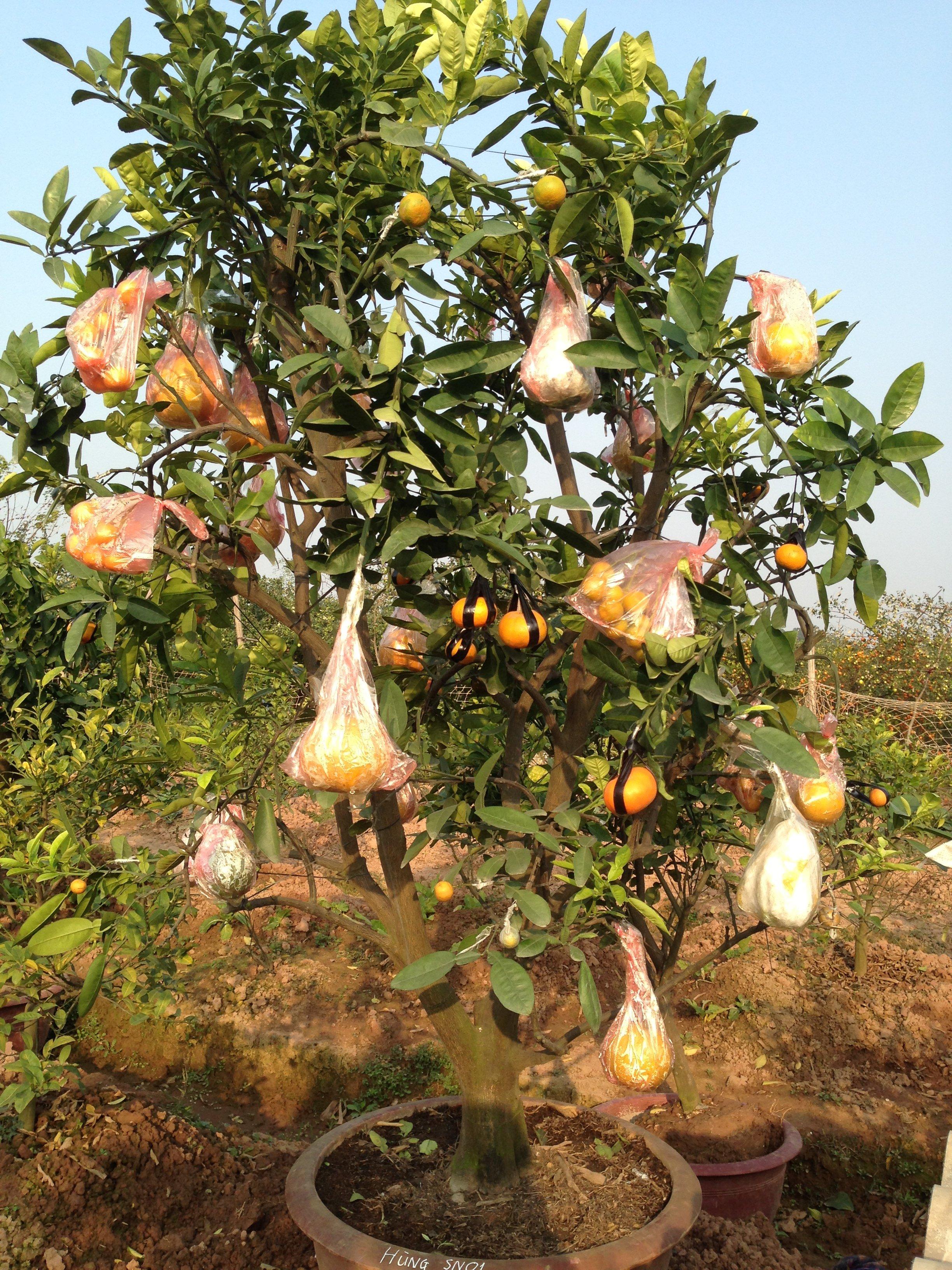 Chiêm ngưỡng vườn cây Ngũ – Thất - Cửu quả bạc tỷ của lão nông Hà thành 9