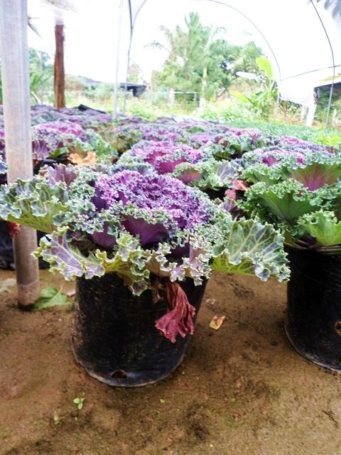 Cận cảnh vườn bắp cải tím chơi tết ở Hà Nội 14
