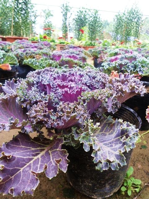 Cận cảnh vườn bắp cải tím chơi tết ở Hà Nội 16