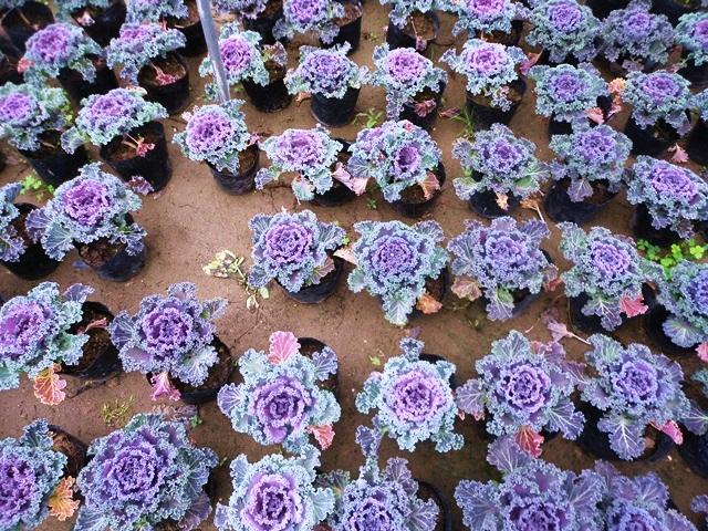 Cận cảnh vườn bắp cải tím chơi tết ở Hà Nội 11