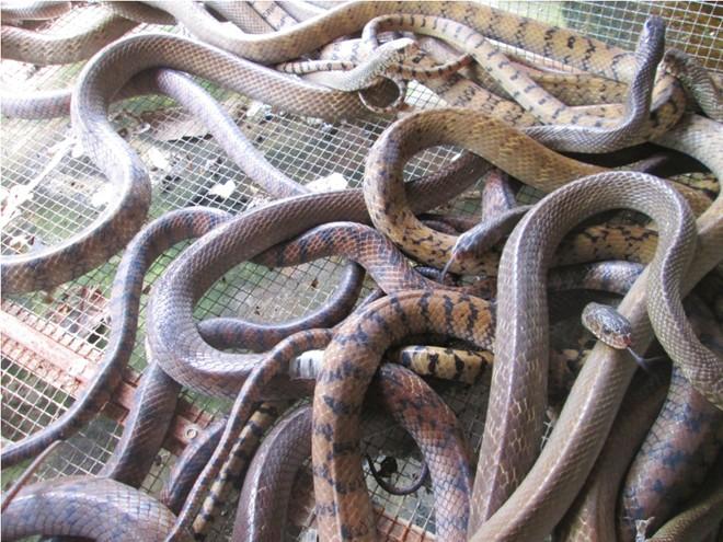 Thương lái Trung Quốc ngưng mua rắn, người nông dân khóc ròng 6